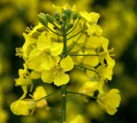 Black Giant rapeseed