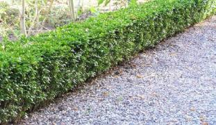 Buxus sempervirens – cheaply and efficiently