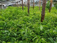 Grafted seedlings of walnut