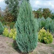 Juniper (Juniperus Skyrocket, P9, wholesale
