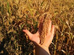 Millet variety Omriane