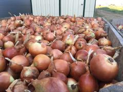 Onion harvest in 2019