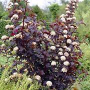 Physocarpus Diabolo, P9, wholesale