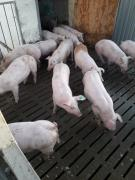 Pigs from a pig farm in large quantities