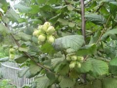 Seedlings of nuts to buy. Hazel plants