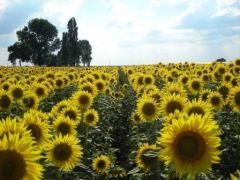 Sunflower, hybrids Maisadour: Mandred, Beneto Certified on