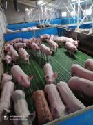 Свині з свинарки комплексу оптом